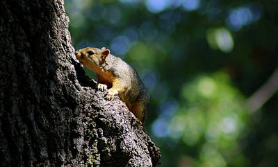 Photograph - Snuffy Squirrel by Susan Vineyard
