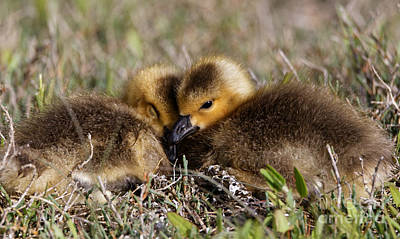 Photograph - Snuggling Baby Canada Geese by Sue Harper