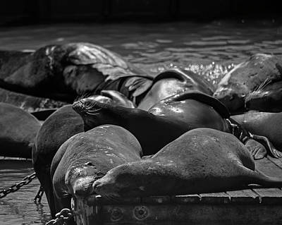 Photograph - Snuggling Seals Pier 39 San Francisco Black And White by Toby McGuire
