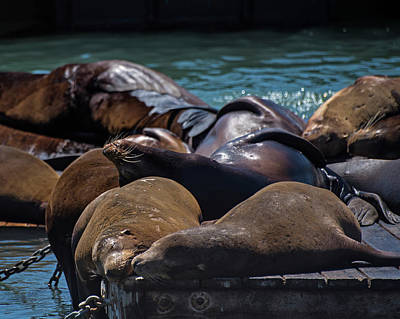 Photograph - Snuggling Seals Pier 39 San Francisco by Toby McGuire