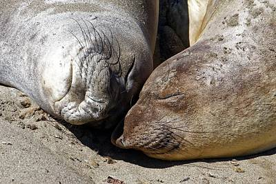Photograph - Snuggling Sisters - Elephant Seals by KJ Swan