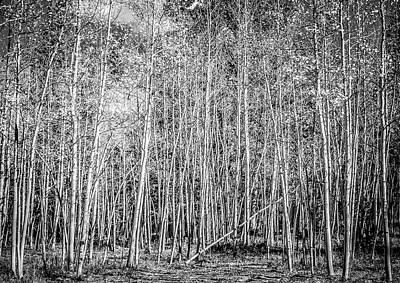 Photograph - So Many Aspens One Fallen by Marilyn Hunt