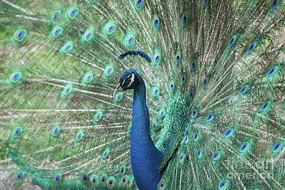 Photograph - So Pretty Peacock by Sabrina L Ryan