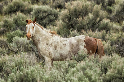 Photograph - South Steens Stallion Alone On The Range by Belinda Greb