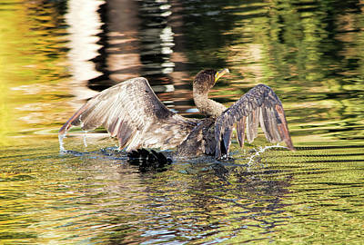 Photograph - Soaked Cormorant by William Tasker
