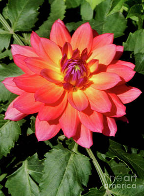 Photograph - Soaking In The Sun Soaking In The Sun Dahlia Flower by Dave Nevue