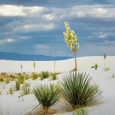 Photograph - Soaptree Yucca by James Barber