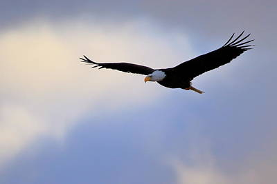 Photograph - Soaring Bald Eagle by Gary Corbett