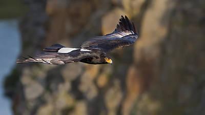 Soaring Black Eagle Art Print by Basie Van Zyl