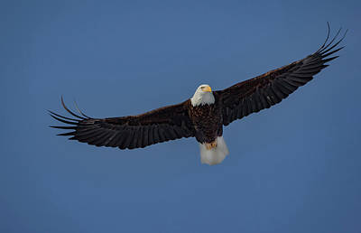 Photograph - Soaring Eagle by Ray Congrove