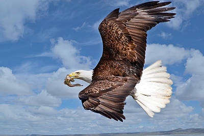 Photograph - Soaring Eagle With Food by Athena Mckinzie