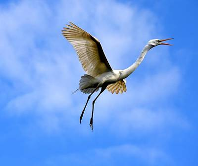 Egret Photograph - Soaring Egret  by Richard Bryce and Family