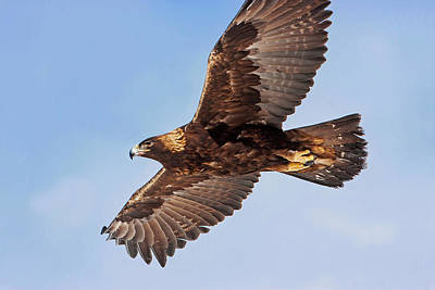 Photograph - Soaring Golden Eagle by Mark Miller