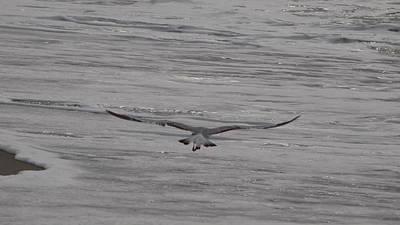 Photograph - Soaring Gull by  Newwwman