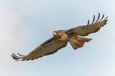 Photograph - Soaring Hawk 2 by Angie Vogel
