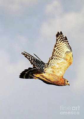 Red Shouldered Hawk Photograph - Soaring Hawk by Carol Groenen