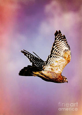 Red Shouldered Hawk Photograph - Soaring Hawk In Colorful Sky by Carol Groenen