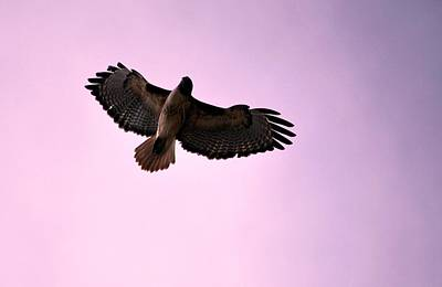 Photograph - Soaring Hawk Purple Sky by Matt Harang