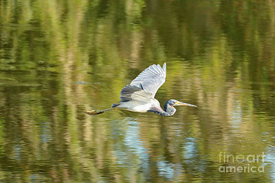 Photograph - Soaring Heron by Carol Groenen