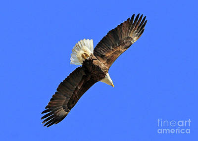 Photograph - Soaring Into The Blue  by Paula Guttilla