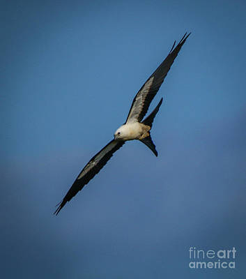 Photograph - Soaring Kite by Tom Claud