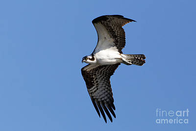 Queen Rights Managed Images - Soaring Osprey Royalty-Free Image by Sue Harper