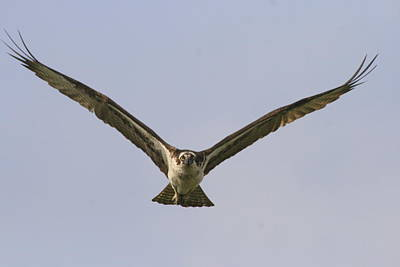 Photograph - Soaring Osprey by Christopher Kirby