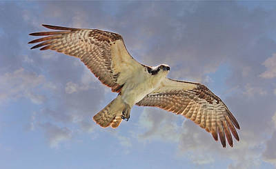 Photograph - Soaring Osprey by HH Photography of Florida