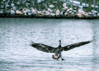 Photograph - Soaring Pelican by Debra Forand