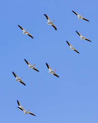 Photograph - Soaring Pelicans by Dawn Currie