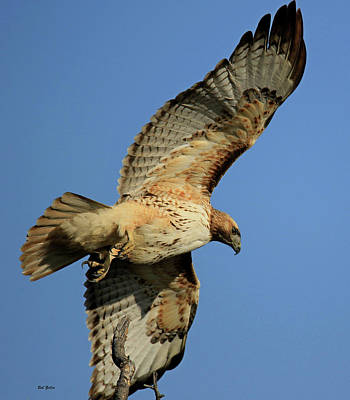 Photograph - Soaring Red-tailed Hawk by Bob Zeller