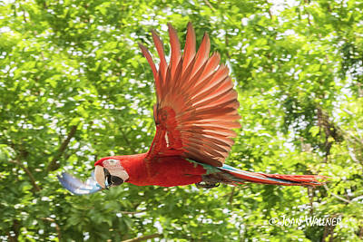 Photograph - Soaring Scarlet by Joan Wallner