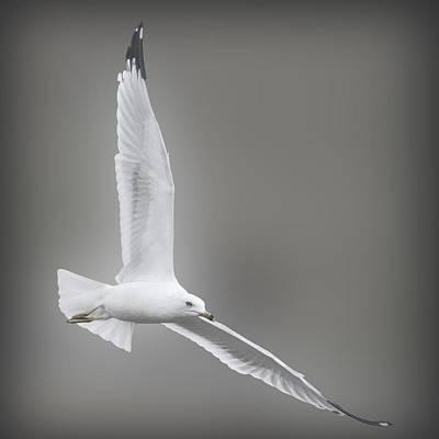 Soaring Seagull Art Print