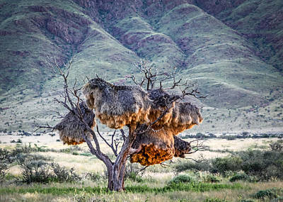 Photograph - Social Weaver Nests by Gregory Daley  PPSA