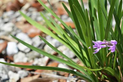 Photograph - Society Garlic by Aimee L Maher Photography and Art Visit ALMGallerydotcom