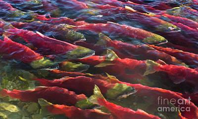Photograph - Sockeye Salmon Adams River by Yva Momatiuk John Eastcott
