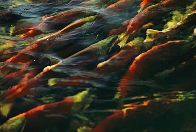 Sockeye Salmon Swim Upstream To Spawn Art Print by Robert Sisson