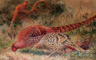 Bold Colorful Painting - Soemmerring's Pheasant by Joseph Wolf