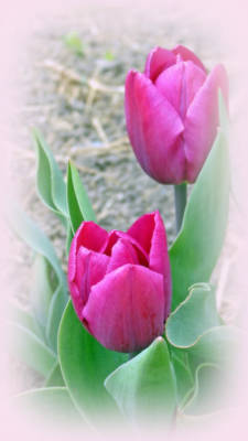 Digital Art - Soft And Lovely Tulips by Kay Novy