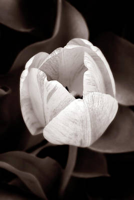 Photograph - Soft And Sepia Tulip by Marilyn Hunt