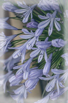 Photograph - Soft Agapanthus by Teresa Wilson