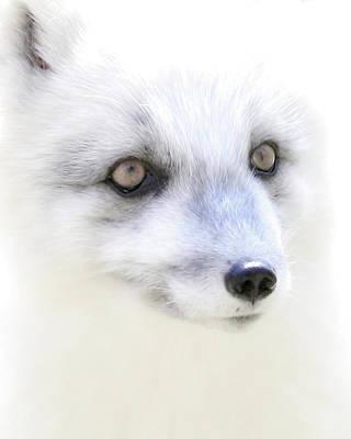 Photograph - Soft Arctic Fox Face by Steve McKinzie