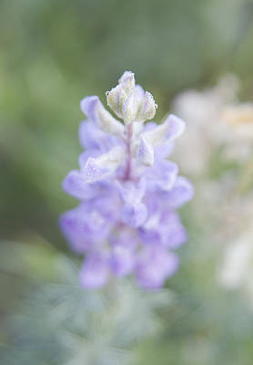 Photograph - Soft Beauty by Morris  McClung