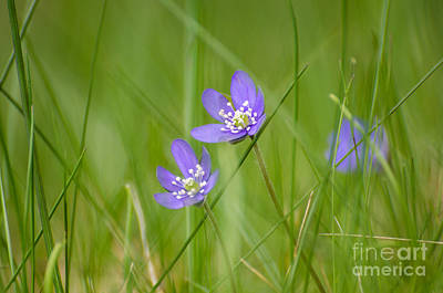 Photograph - Soft Blue Hepaticas by Kennerth and Birgitta Kullman