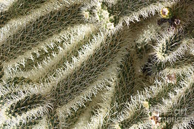 Soft Cactus Thorns Print by Carol Groenen