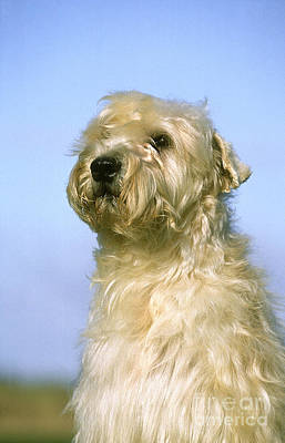 Soft Coated Wheaten Terrier Photograph - Soft Coated Wheaten Terrier by Gerard Lacz