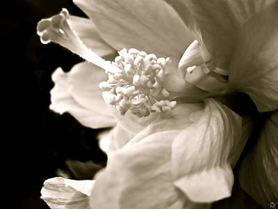 Photograph - Soft Delicate by Debra     Vatalaro