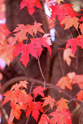 Photograph - Soft Fall Maple Red by Mary Bedy