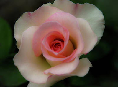 Bath Time Rights Managed Images - Soft Focus Blushing White Rose 0403 H_2 Royalty-Free Image by Steven Ward