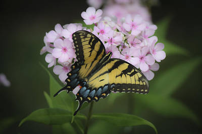 Phlox Paniculata Photograph - Soft Focus Tiger Swallowtail by Teresa Mucha